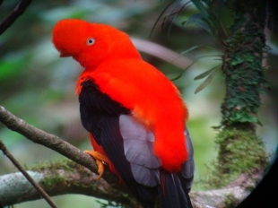 Aves Yacuambi (Gallito de la Peña)
