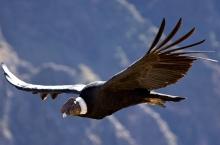 Condor andino volando