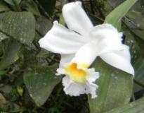 Orquídea Bucay