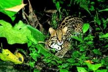 Jaguar acostado