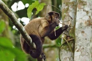 Putumayo monos