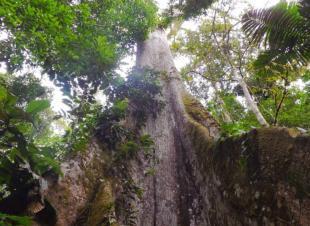 Ceibo amazónico