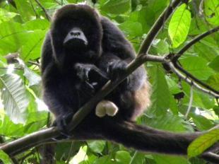 Mono aullador