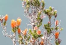 Flor de chuquiragua