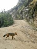Lobo de páramo subida Guagua Pichincha